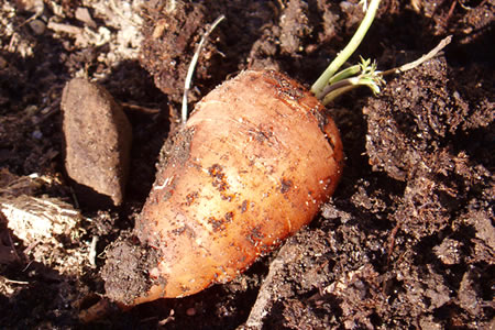 overwintered carrot