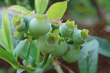green blueberries