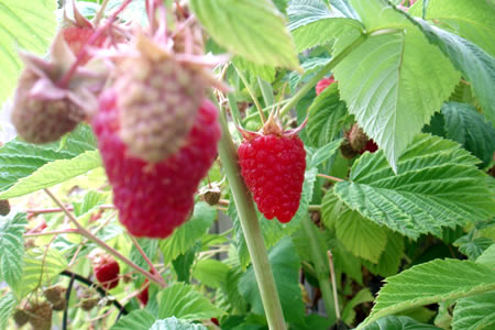 july raspberries